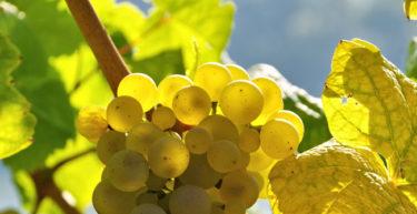 Moscato : il vino, il vitigno e le caratteristiche del gioiello autoctono dell'agropontino