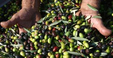 Il caldo e la siccità stanno compromettendo la stagione delle olive. Facciamo attenzione all'olio importato.
