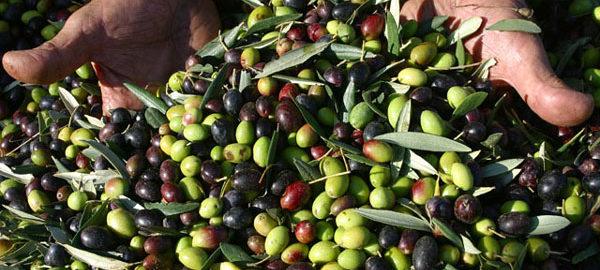 olive-nuova